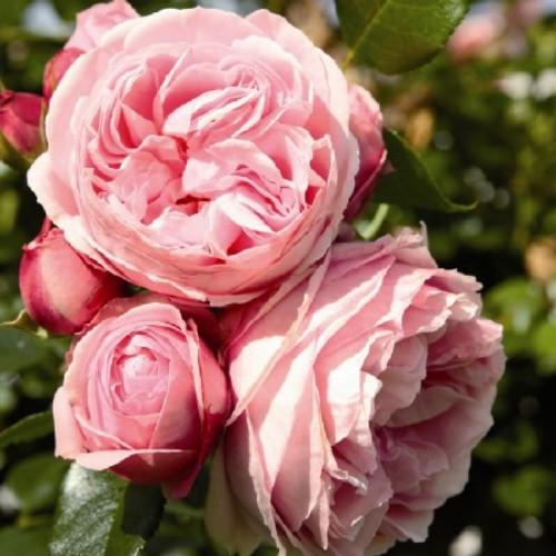 купить Саженцы Роз Giardina фото питомник