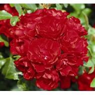 CentrO-Rose