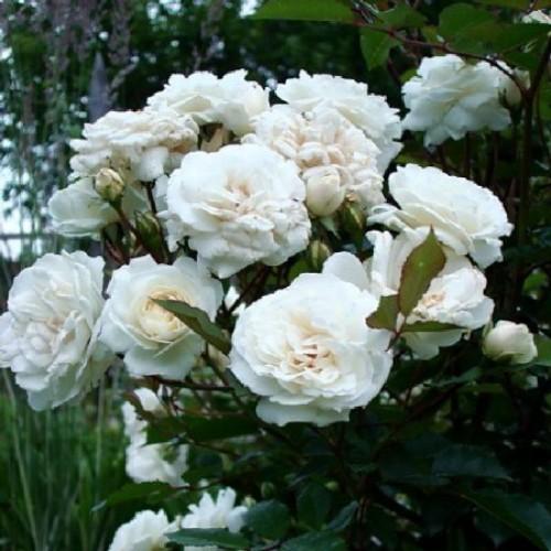 купить Саженцы Роз Aspirin Rose фото питомник