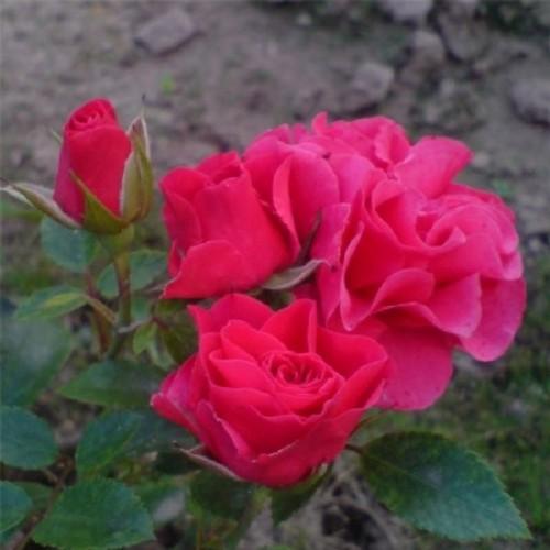 купить Саженцы Роз Modern Cardinette фото питомник