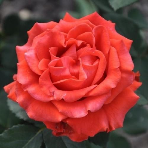 купити Саженцы Роз Эль Торо фото розплідник