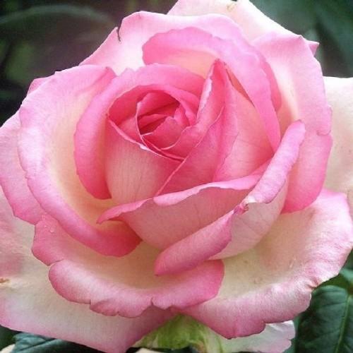 купить Саженцы Роз Honore de Balzac фото питомник
