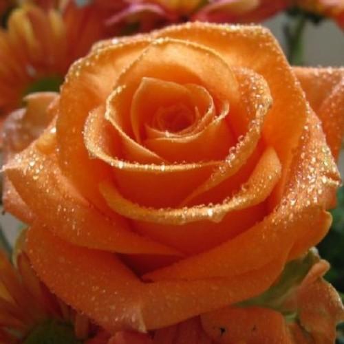 купить Саженцы Роз Louis de Funes фото питомник