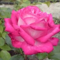 Роз Гожар