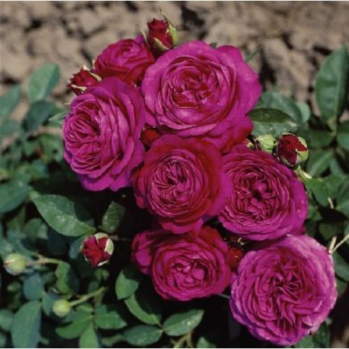 купить Саженцы Роз Heidi Klum Rose фото питомник