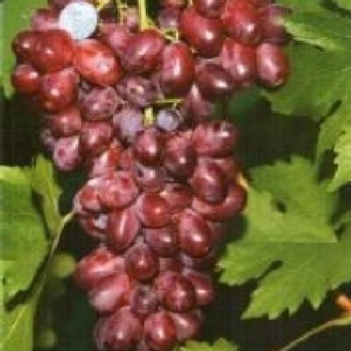 купить Саженцы Винограда Андрюша фото питомник