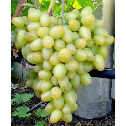 купить Саженцы Винограда Аркадия фото питомник