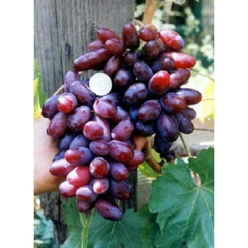 купить Саженцы Винограда Изюминка фото питомник