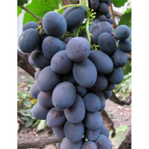 купить Саженцы Винограда Гала фото питомник