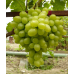 купить Саженцы Винограда Новый Подарок Запорожью фото питомник