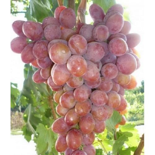 купить Саженцы Винограда Анюта фото питомник
