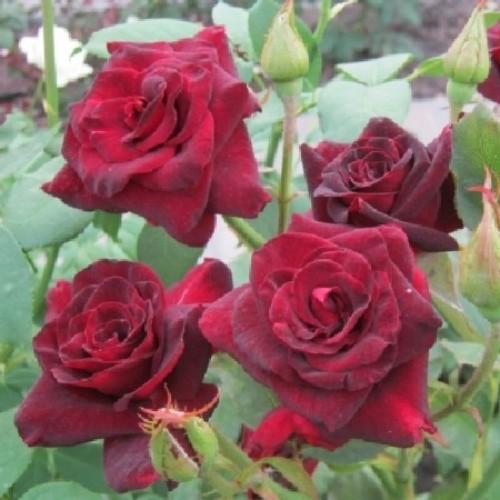 купить Саженцы Роз Black Baccara фото питомник