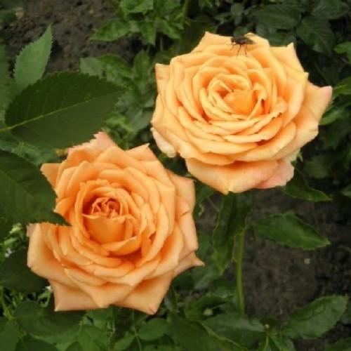 вам роза эльдорадо фото описание выполнения женской стрижки