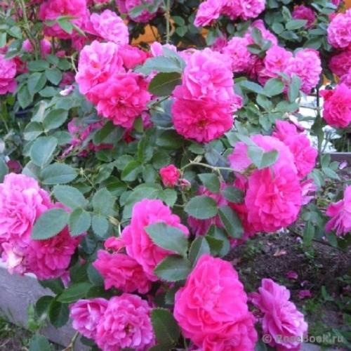 купить Саженцы Роз John Cabot фото питомник