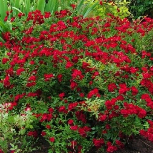 купить Саженцы Роз Red Cascade фото питомник