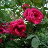 Red Parfum