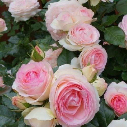 купить Саженцы Роз Pierre de Ronsard фото питомник