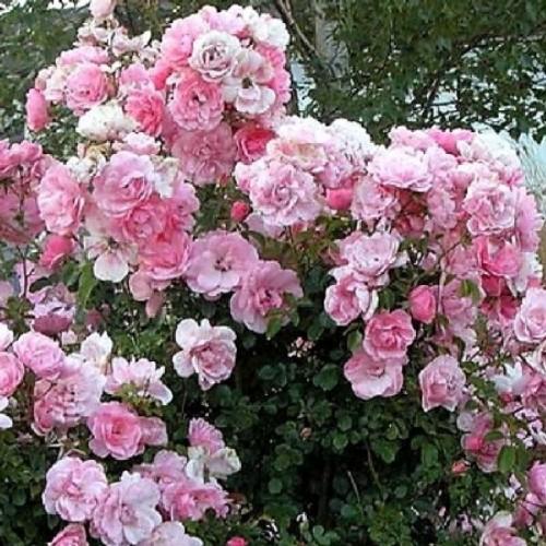 купить Саженцы Роз Santa Monika фото питомник