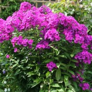 Флокс «Пурпурный»