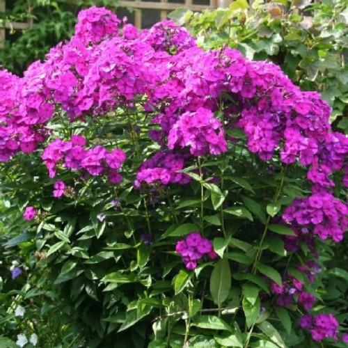 купить Многолетники Флокс «Пурпурный» фото питомник