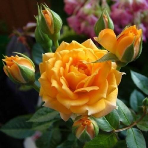 купить Саженцы Роз Clementine фото питомник