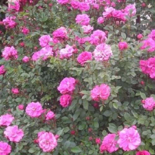 купить Саженцы Роз Lavender Jewel фото питомник