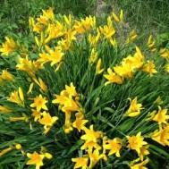 Лилейник Желтый Раннецветущий