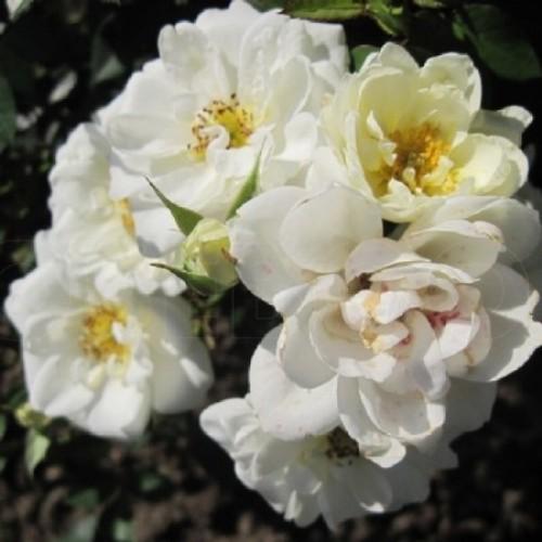 купить Саженцы Роз White Fairy фото питомник