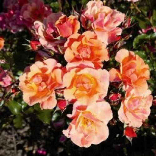 купить Саженцы Роз Jazz фото питомник
