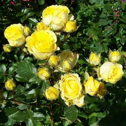 Выращивание розы спрей 31