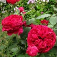 Rose des 4 Vents