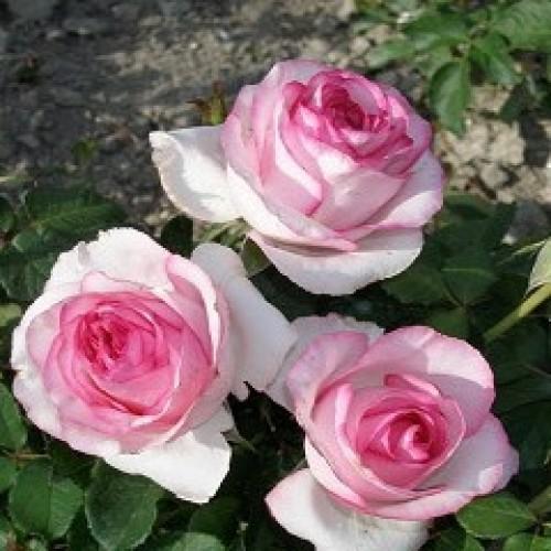 купить Саженцы Роз Bella Vita+ фото питомник