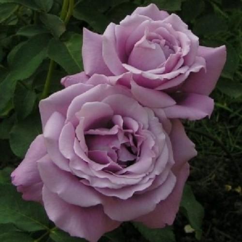 купить Саженцы Роз Charles De Gaulle фото питомник