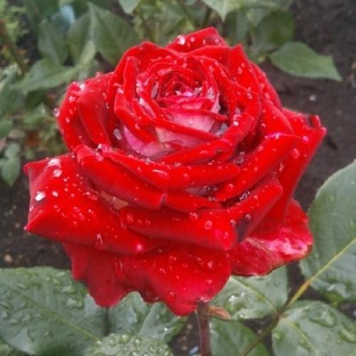 купить Саженцы Роз Luxor фото питомник